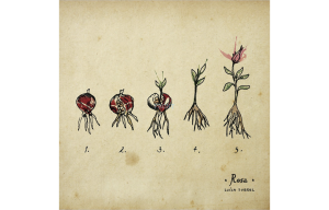 Rosa de Luísa Sobral